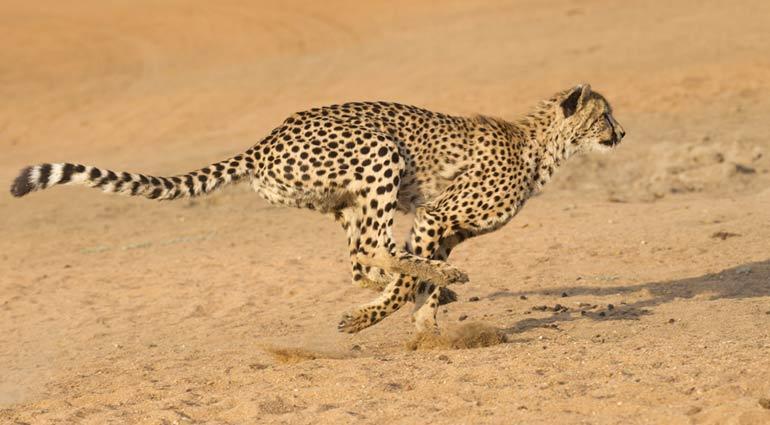 Outrunning Cheetahs