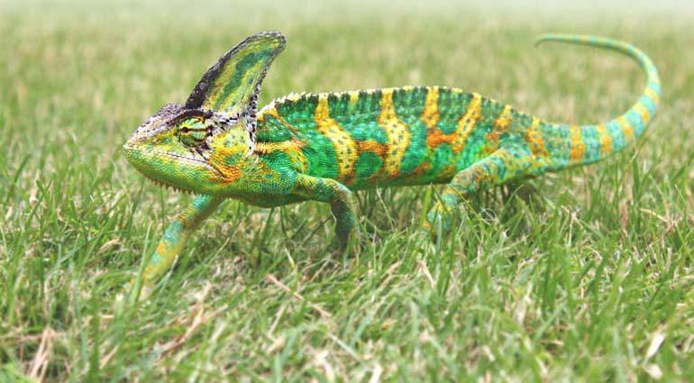 Chameleon Crawl