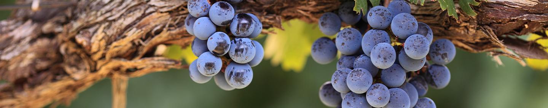 在葡萄树上