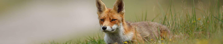 Ловите лис