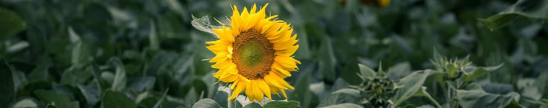 亮丽的向日葵